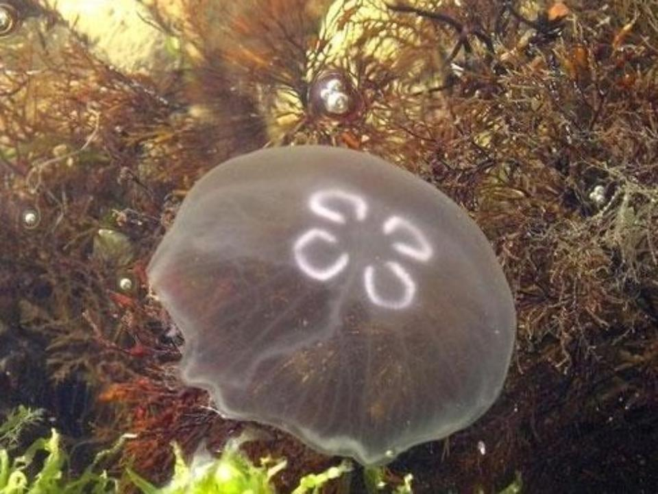 Медузы приморского края фото с названиями