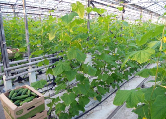 Огурцы в южном регионе выращивание 20