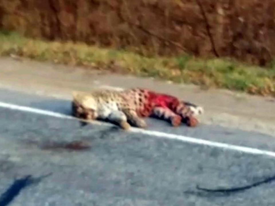 Кличку сбитого вПриморье леопарда придумал Лагутенко