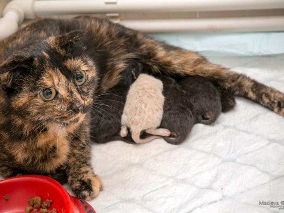 Беременная кошка сама пришла рожать кветеринарам
