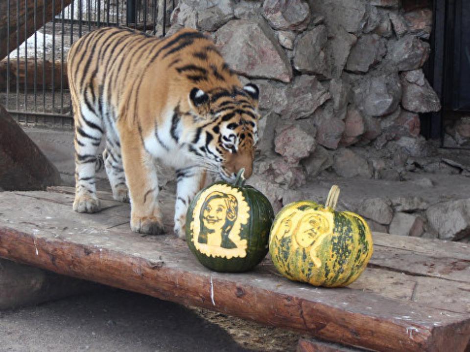 В русском зоопарке животные предсказали финал выборов президента вСША