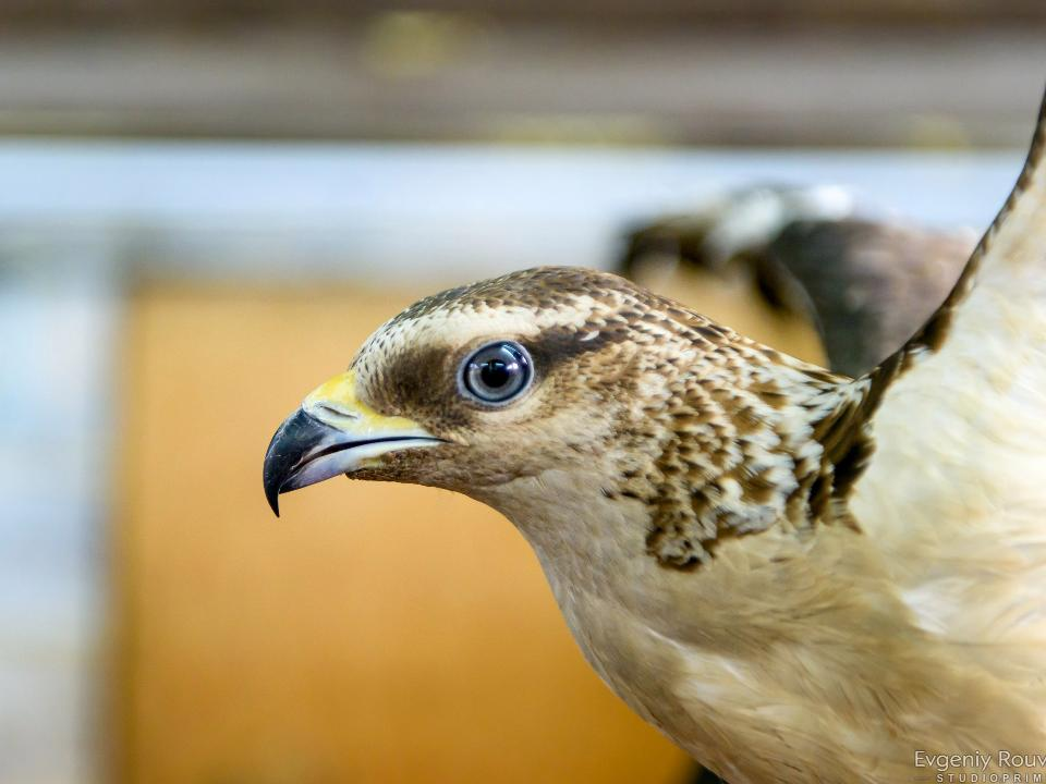 Птица, питающаяся осами ишмелями, появилась вИркутске