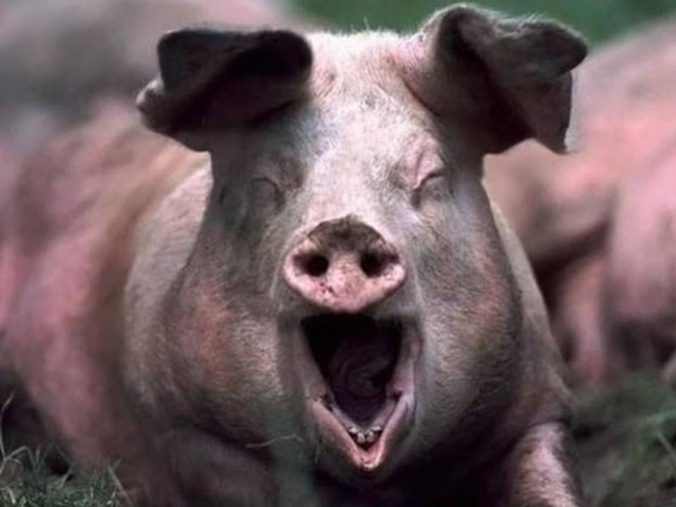 ВХомутовскомМО забрали всех свиней всвязи сАЧС