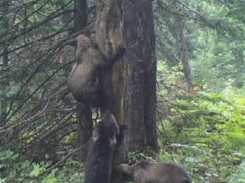 Взаповеднике «Столбы» танцуют медведи