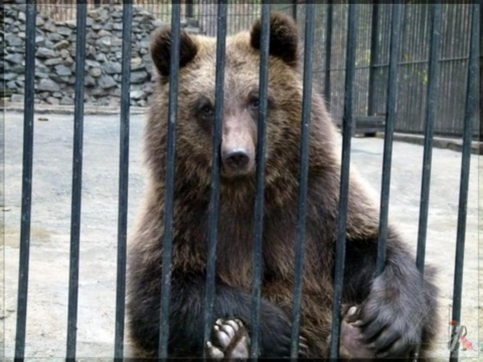 Медведи вкафе вШелеховском районе оторвали руку пьяному посетителю