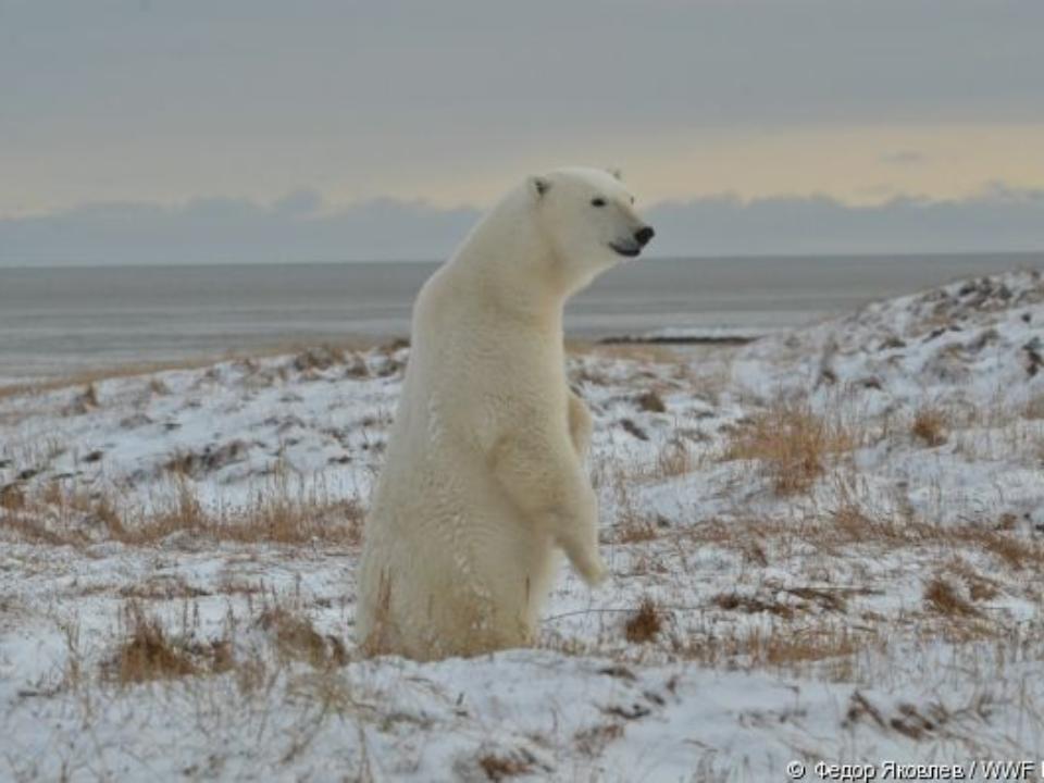 Практически 20 белых медведей поселились рядом счукотским селом